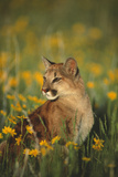 Mountain Lion Sitting in Wildflowers Photographic Print by  DLILLC