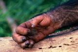 Chimpanzee Hand Photographic Print by  DLILLC