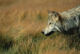 Gray Wolf in Meadow Photographic Print by  DLILLC