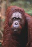 Orangutan in Forest Photographic Print by  DLILLC