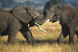 Elephants Fighting Photographic Print by  DLILLC