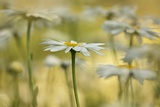 Front and Center Daisy Photographic Print by Kathleen Clemons