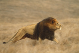 Lion Running Photographic Print by  DLILLC
