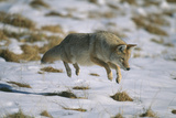Coyote Leaping on Vole in Snow Photographic Print by  DLILLC