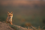 Young Red Fox Photographic Print by  DLILLC