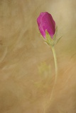 Pink Poppy Bud Photographic Print by Kathleen Clemons