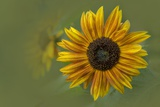 Sunflower Photographic Print by Kathleen Clemons