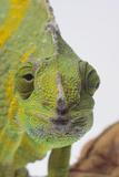 Meller's Chameleon Photographic Print by  DLILLC