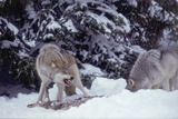 Gray Wolves Eating from Carcass Photographic Print by  DLILLC