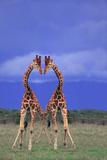 Symmetrical Giraffes Photographic Print by  DLILLC