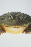 African Bullfrog Photographic Print by  DLILLC