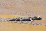 Crocodile Photographic Print by  DLILLC