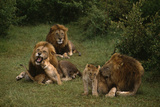 Lions with Cubs Photographic Print by  DLILLC
