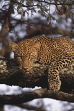 Leopard Resting in Tree Photographic Print by  DLILLC