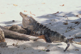 Iguana Photographic Print by  DLILLC