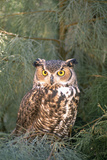 Great Horned Owl in Meadow Reproduction photographique par  DLILLC