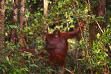 Mother and Baby Orangutan Photographic Print by  DLILLC