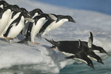Adelie Penguins Diving into Water Photographic Print by  DLILLC