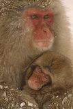 Japanese Macaque with Young Photographic Print by  DLILLC