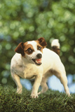 Jack Russell Showing Teeth Photographic Print by  DLILLC