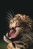 Snarling Leopard Photographic Print by  DLILLC