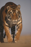 Tiger Stalking Photographic Print by  DLILLC