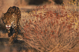 Jaguar Walking Photographic Print by  DLILLC