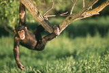 Chimpanzee Hanging from Tree Photographic Print by  DLILLC