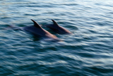 Bottlenose Dolphins Swimming Photographic Print by  DLILLC