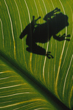 Frog Silhouetted on Leaf Photographic Print by  DLILLC