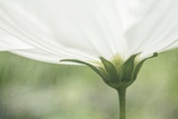 White Cosmos Flower close Up Photographic Print by Kathleen Clemons
