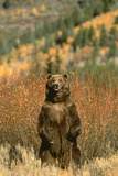 Grizzly Bear Standing Photographic Print by  DLILLC