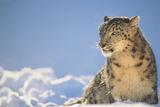 Snow Leopard in Snow Fotografisk tryk af  DLILLC