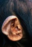 Chimpanzee Ear Fotografisk tryk af  DLILLC