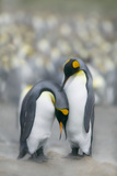 King Penguins Courting Photographic Print by  DLILLC