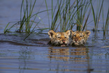 Bengal Tiger Cubs Swimming Photographic Print by  DLILLC