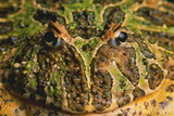 Chacoan Horned Frog Photographic Print by  DLILLC