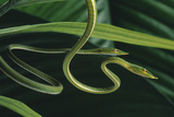 Vine Snakes Photographic Print by  DLILLC