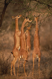 Gerenuk Standing While Feeding on Acacia Photographic Print by  DLILLC