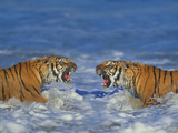 Bengal Tigers Snarling in Surf Photographic Print by  DLILLC