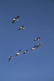 Snow Geese Flying in Formation Reproduction photographique par  DLILLC