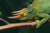 Jackson's Chameleon Fotografisk tryk af  DLILLC