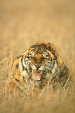 Snarling Tiger Photographic Print by  DLILLC
