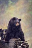 Black Bear Photographic Print by  DLILLC