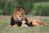 Lion Sitting down with Lamb Photographic Print by  DLILLC