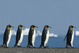 King Penguins Marching Photographic Print by  DLILLC