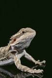 Bearded Dragon Photographic Print by  DLILLC