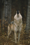 Wolf Howling Photographic Print by  DLILLC