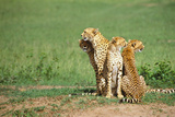 Four Cheetahs Photographic Print by  DLILLC