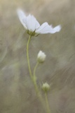 White Cosmos Flower Photographic Print by Kathleen Clemons
